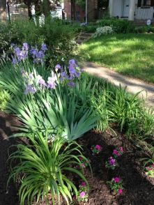 Irises in Leigh's yard